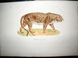 Saint Hilaire & Cuvier C1830 Folio Hand Colored Print. Male Panther